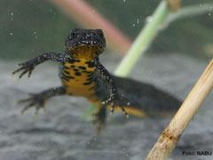 Ein Kammmolch (Triturus cristatus)