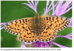 Sumpfwiesen-Perlmuttfalter - Schmetterling des Jahres 2013