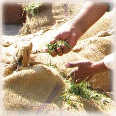 摘みたてのヘナの葉~目の覚めるような緑と香りが素晴らしい