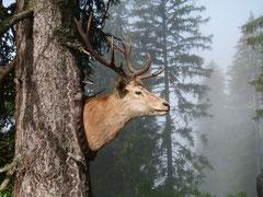 Hirschstier im Naturpfad von bergnatur PUR