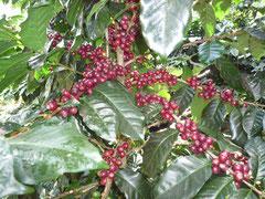 収穫直前のコヒー豆(アラビカ種)