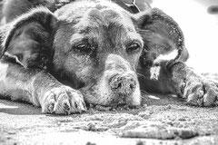 chien gris couché dans le sable d'une plage par coach canin 16 en charente