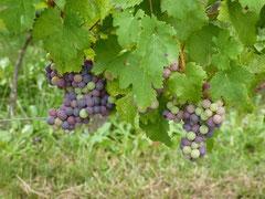 Bearn wine