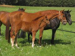 Stutfohlen von Valeron auf dem Pferdehof Leue