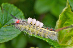 White-marked Tussock Moth Caterpillar (Orgyia leucostigma)