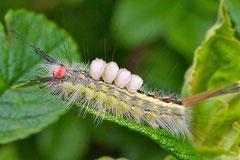 White-marked Tussock Moth Caterpillar (Orgyia leucostigma)