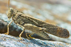A Band-winged grasshopper, in the Adult stage of its development. Note the long wings.