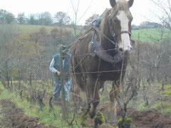 Labour de la vigne avec la charrue vigneronne