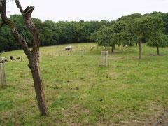 Verjüngung einer überalterten Obstwiese in Fernegierscheid durch Nachpflanzung regionaltypischer Sorten