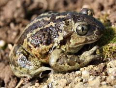 Männchen der Knoblauchkröte (Pelobates fuscus, Bild. K. Weddeling)