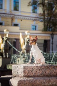 Той-фокстерьер; той-фокс; амертой; Terra Baltika; Терра Балтика; щенки той-фокстерьера; щенки той-фокса; щенки амертой
