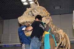 タルボサウルスの頭骨取り付け