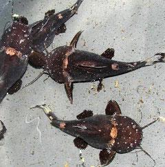 Frosch-Fettwels (Batrochoglanis raninus) adult