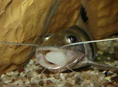 Pimelodus ornatus kann sein Maul erstaunlich weit öffnen.