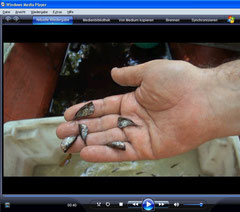 Marmorierte Beilbauchfische (Carnegiella strigata)