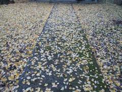 神社の境内は銀杏の葉で一杯だ。
