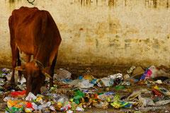 Wenn heilige Kühe Abfall fressen