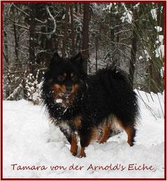 Pomeranian Hündin Tamara von der Arnold's Eiche.