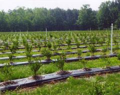 近年、新しいグループ(品種)の植付けが増大している (2010年、中西部地域のミシガン州にて)