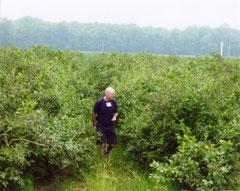 樹齢が50年以上経ったノーザンハイブッシュ「ジャージー」園。 (2010年、中西部地域のミシガン州にて)