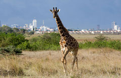 Nairobi National Park - Giraffe