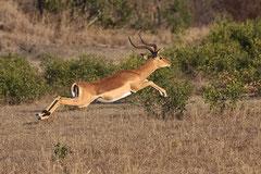 Kimusu Impala Sanctuary
