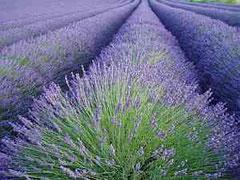 ein Lavendelfeld