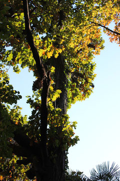ピンオーク 林試の森 11月