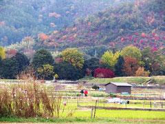広沢の池畔から望む嵯峨野 農地の向こうは大覚寺の森、その向こうは直指庵のある山。