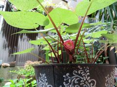 フタバ葵の花が咲きました!お祭りが楽しみです