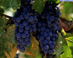 Dieta e cura dell'uva
