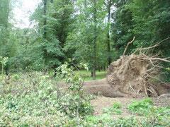 こんな大きな木まで根こそぎ・・・