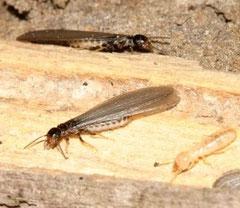 Diagnostic termites Lot
