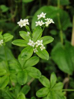 ハナムグラ 花葎 アカネ科