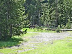 Beim Grand Village - ein Grizzli gemütlich beim Grasen