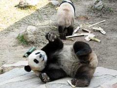 広州・香江野生動物世界・パンダ