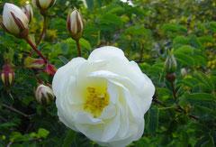Rosa pimpinellifollia `Double Cream`