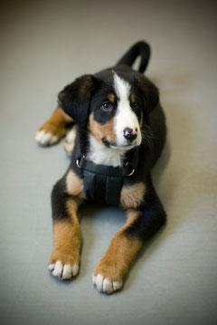 Hundewelpe Berner Sennenhund