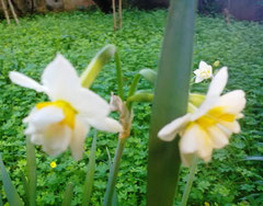 Narcisi - William Wordsworth dans fiori...) image