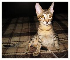 #кот саваннаF5 alt