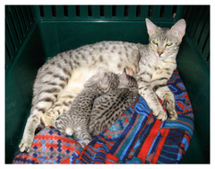 #саванна кошка F2 alt, #саванна котята F3C alt