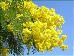 La couleur d'or du mimosa