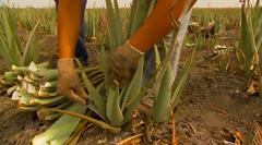 L'Aloe véra est récoltée à la main tout au long de l'année.