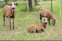 Kamerunschafe im Waldkindergarten