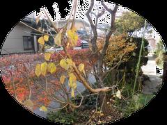 梅の葉がまだ残っている