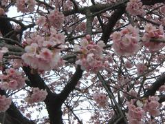 5分咲きの桜(名前は知らない)