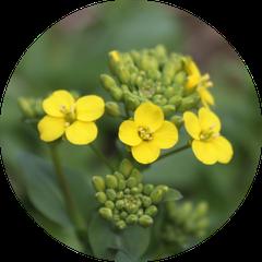 ターサイの花