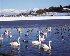 立山連峰を背景に白鳥が飛来する田尻池