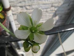 dopo 45 giorni dalla nascita dello stelo, il fiore è sbocciato