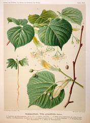 Sommerlinde, Tilia platyphyllos